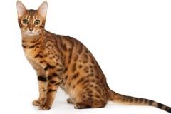 QZ-Bengal-cat