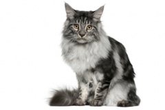 QZ-Maine-Coon-Cat-breed