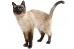 QZ-Siamese-cat