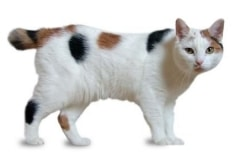 QZ_manx-cat-