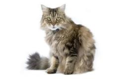 QZ_ragamuffin-cat