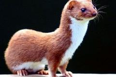 FP-British-Weasel
