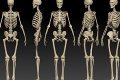 FP-QZ-human-body-skeleton