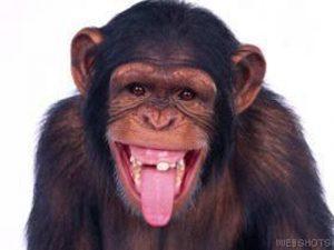 FP Funny Chimpanzee