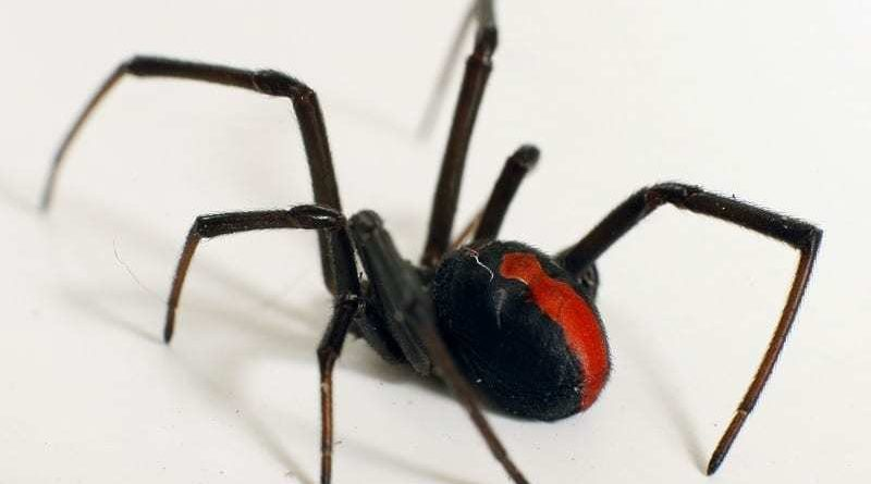 FP red back spider